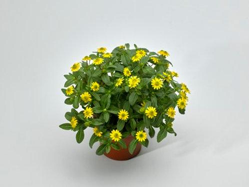 Sanvitalia procumbens P10,5 H15