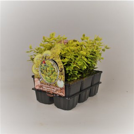 Euonymus fort. Emerald n Gold P9 H15