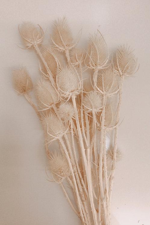 Bündel getrockneter und gebleichter Cardi Palustris