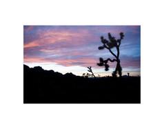 Joshua Tree Pastel Sunset