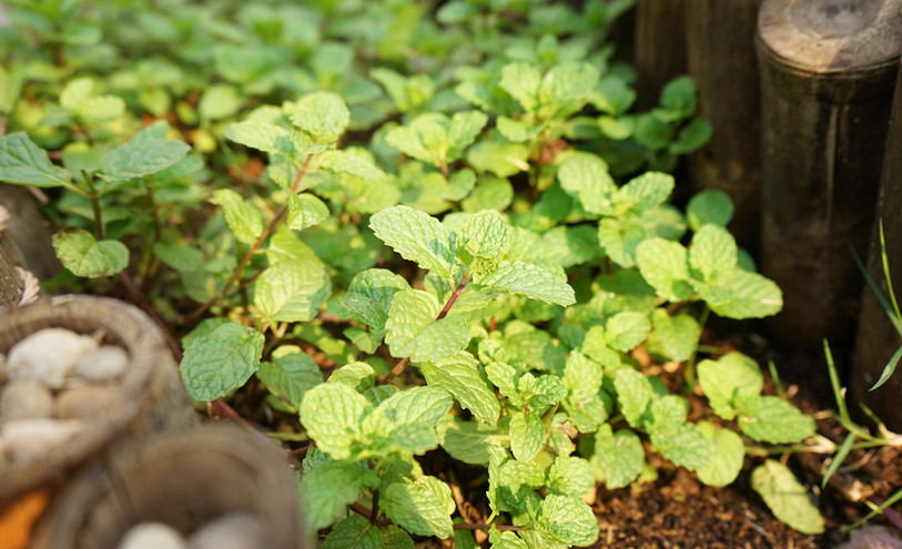 Mint growing at the herb spiral