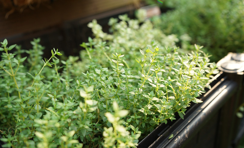 Thyme growing at the Herb Garden