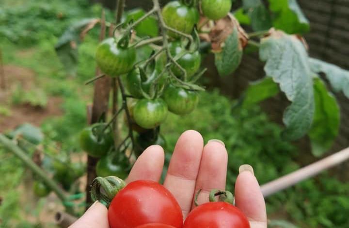 Cherry tomatoes harvest