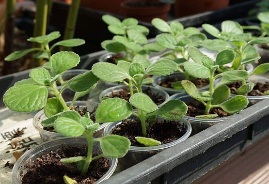 Mexican Mint