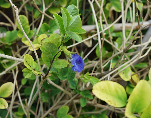 Butterfly-pea flower
