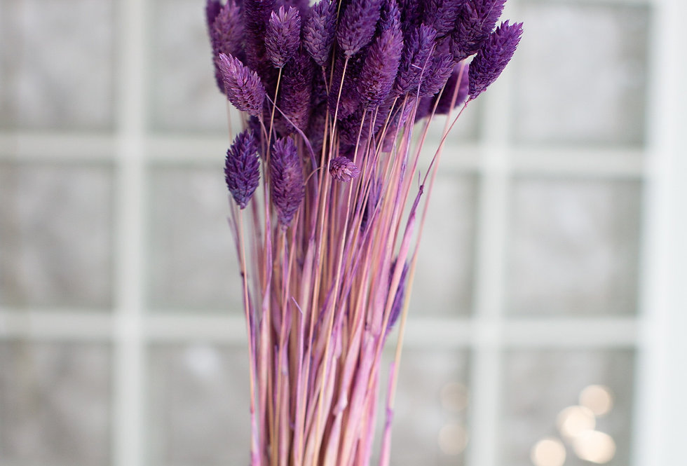 Dried Phalaris Purple