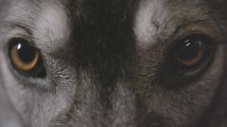 Wolf, Not Wolf