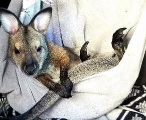Nelson's Wildlife Safari- Kangaroo in pouch