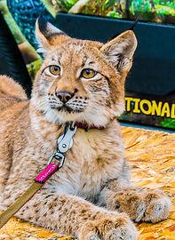 Nelson's Wildlife Safari- Lynx