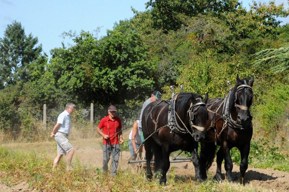 Crémeaux : le concours de chevaux de trait perdure année après année