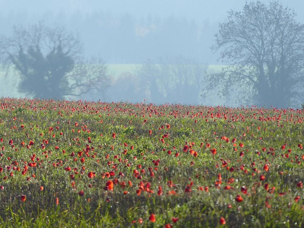 Poppy field during sightseeing near Bath