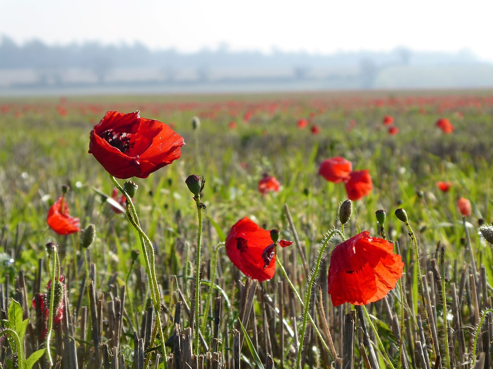 Poppy field and Remembrance Day in England