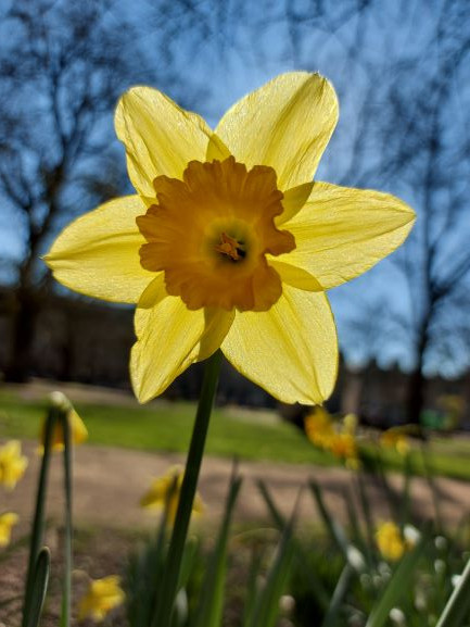 Daffodil, the national flower of Wales