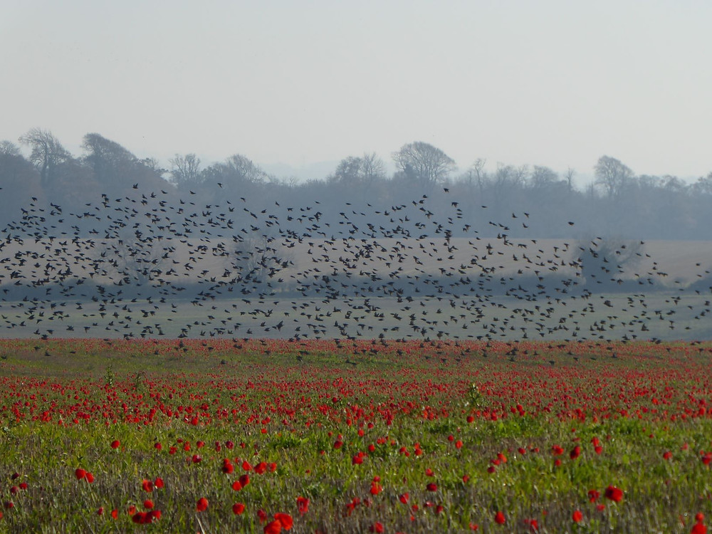 Poppies and a starling murmuration
