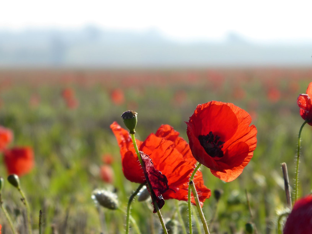 Close-up of poppies in a poppy field
