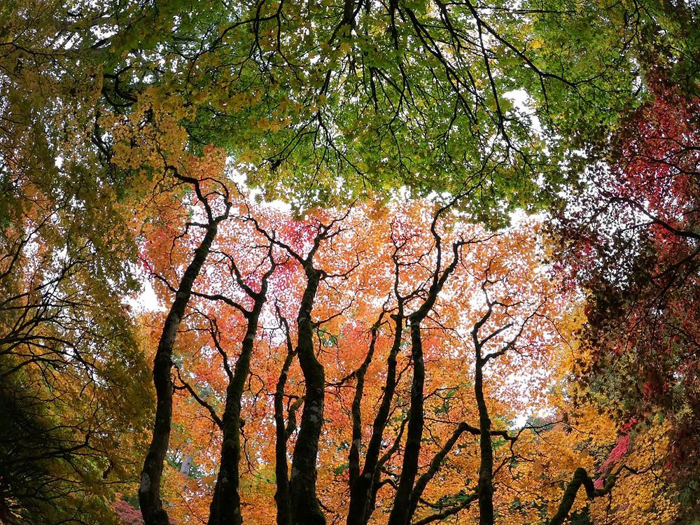 Autumn leaves at the magnificent Westonbirt Arboretum