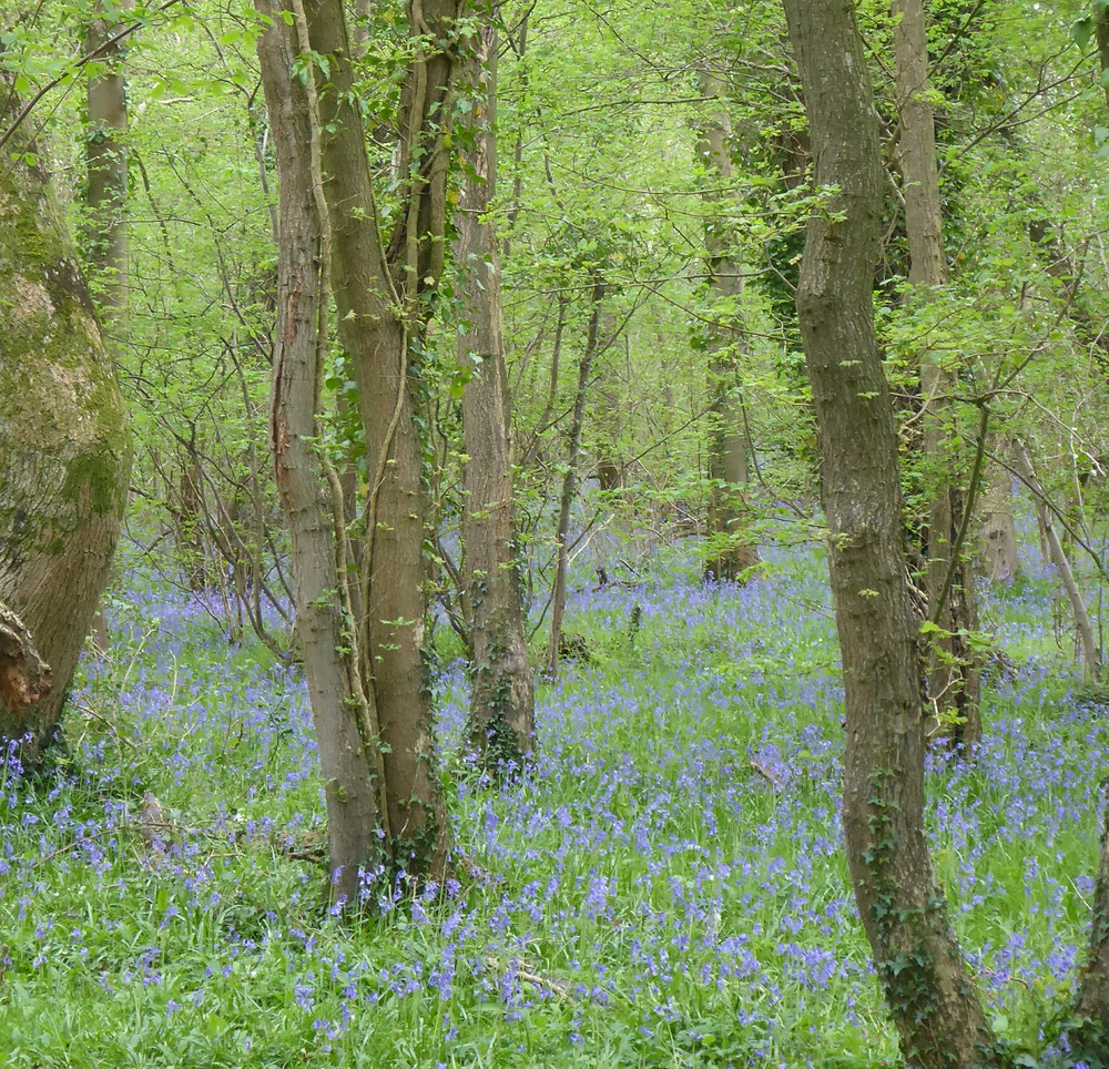 Bluebells in woodlands around Bath