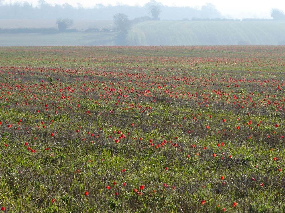 Poppy field by Bath Insider Tours
