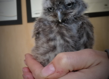 Meet Sulis the Little Owl!