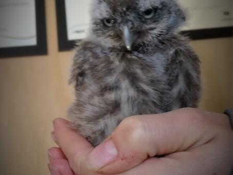 Meet Sulis the Little Owl!