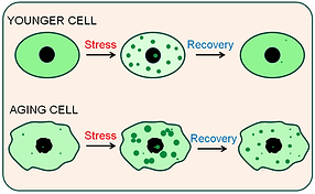 Aging cell.png