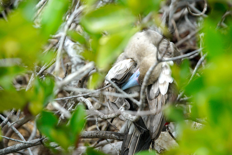 Post 10a - Genovesa, Red-footed Booby.jp