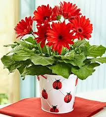 Gerbera Daisies - keep you smiling