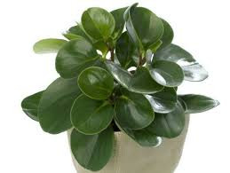 Rubber plant - remove toxins