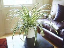 Spider plant - detoxing