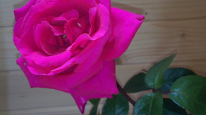 Toi, la Rose