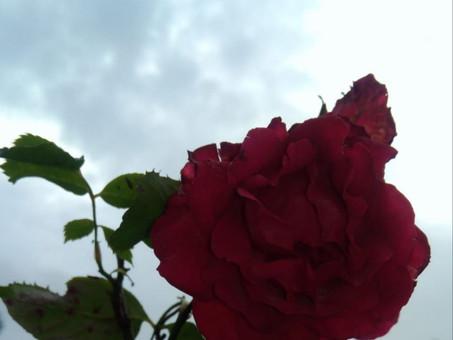 La Rose Fatiguée