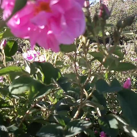 O Toi... Rose de Damas