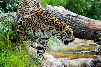 the jaguar's leap - cercle de vie
