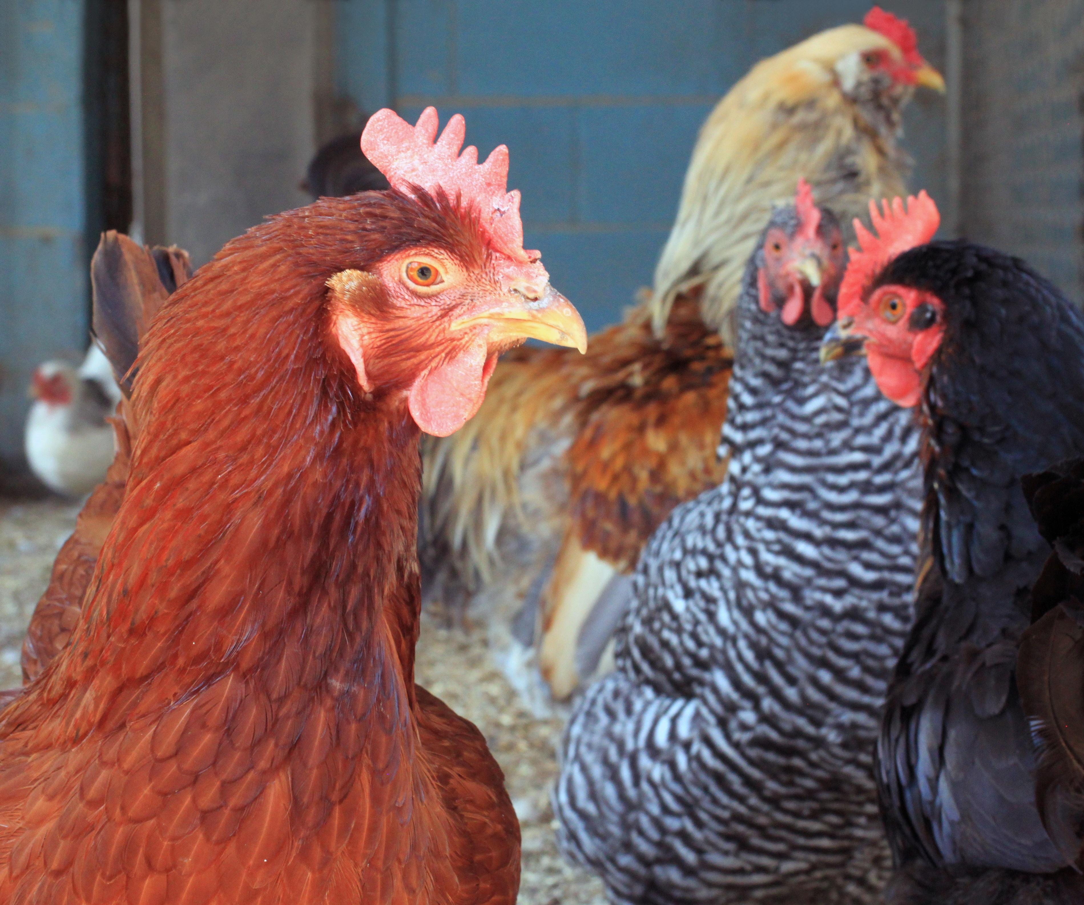 chicken-1336445