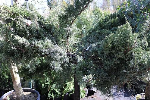 "Juniperus ""Mint Julep"""