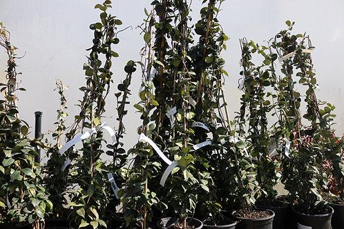 Rhyncospermum sur bambou