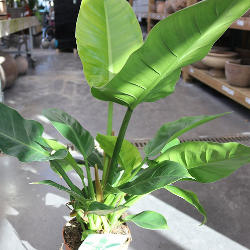 Philodendron Imperial Vert