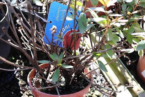 Azalea Japonica Evergreen