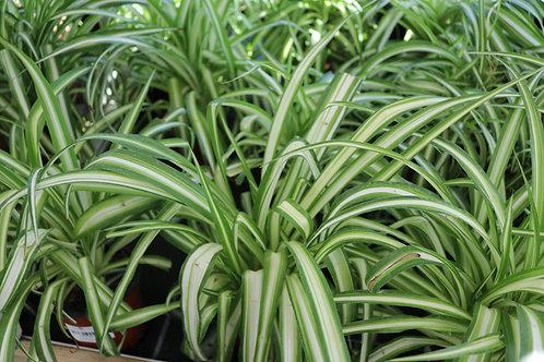 Chlorophytum com bonnie P12