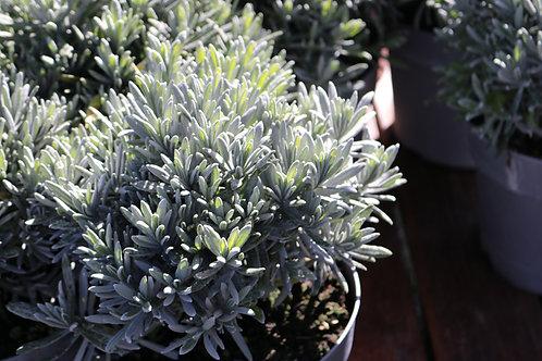 Lavande Augustifolia Touffe D19