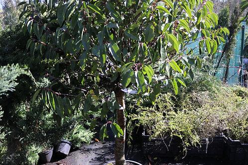 Prunus Lusitanica copa