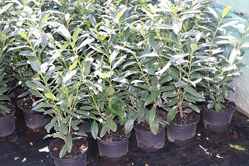 Prunus Caucasica 60-80