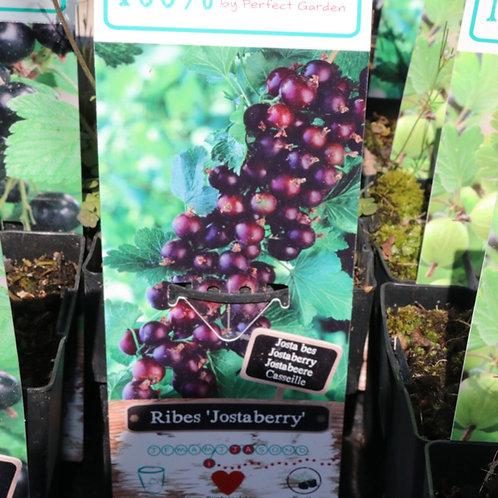 Ribes Josta Berry