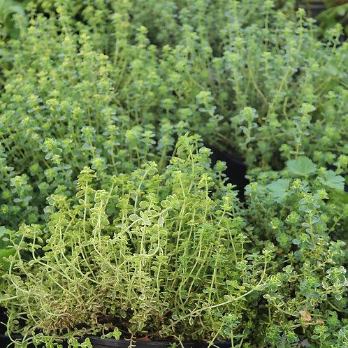 Thymus Citriod