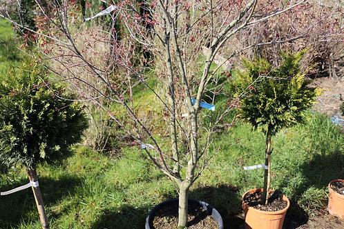 Acer Palmatum Verde 2m/2m50