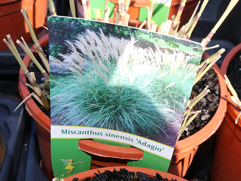 """Miscanthus Sinensis """"adagio"""""""