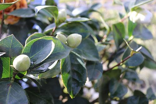 Camellia Copa