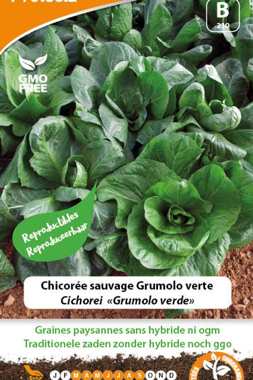 Protecta chicorée sauvage Grumolo verte