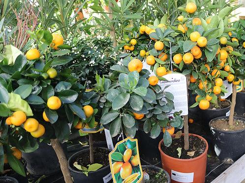 Kumquat Obowata