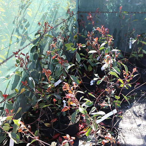 Photinia Red Robin 40/60